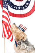 Obama Dog Yorkie