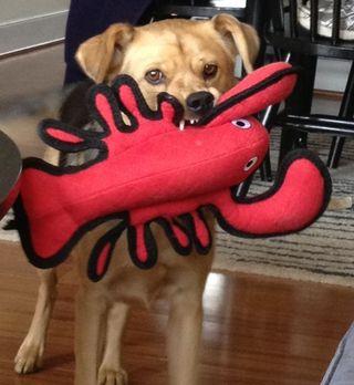 Gwen lobster
