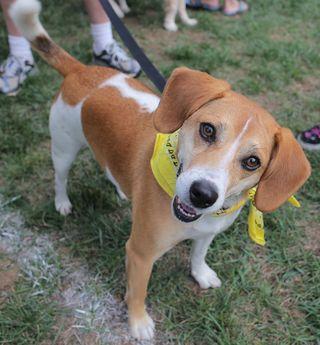 Beagle_Walk